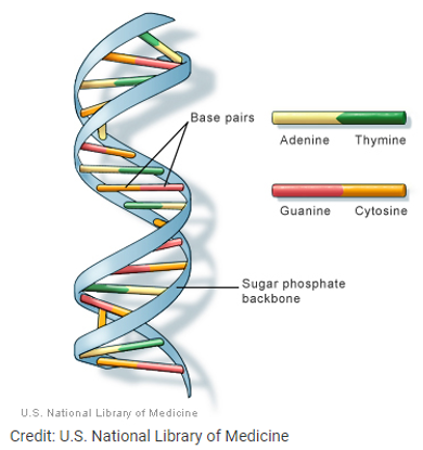 DNA Illustrated